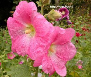 ماسک گل ختمی و درمان جوش